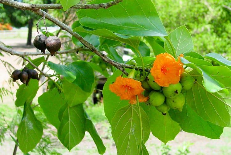 Fleurs et fruits de Tou, Cordia subcordata © Tahiti Heritage