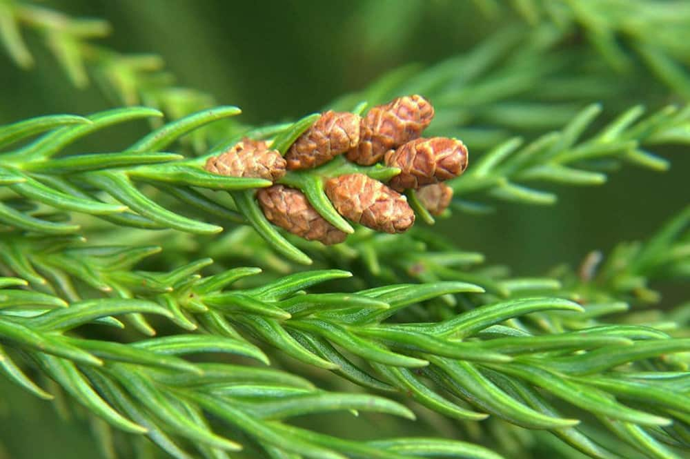 Cônes femelles de Cryptomeria japonica