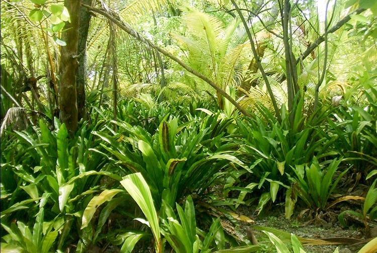 Végétation autour des vestiges du marae Vaimeho de Aratika