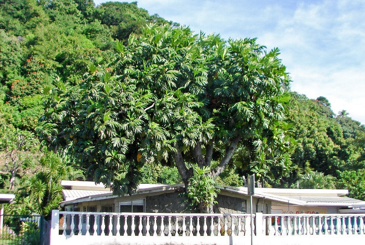 Arbre à pain du commandant Bligh de La Bounty, Arue Tahiti