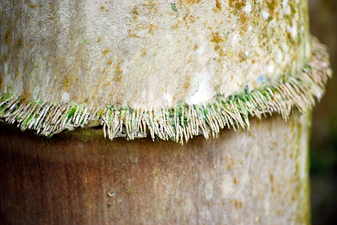 Poils de Bambou géant