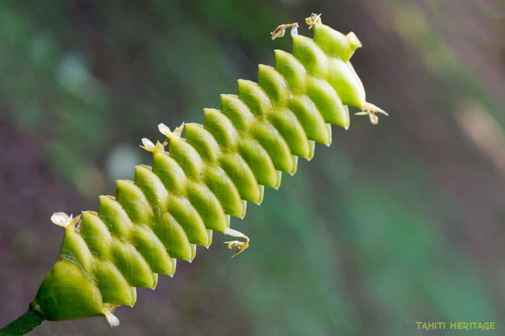 Calathea - Crotale - Varo