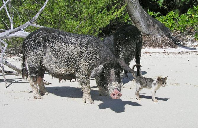 Chat (mimi) et cochons de Raivavae. Communauté d'écotourisme de Raivavae