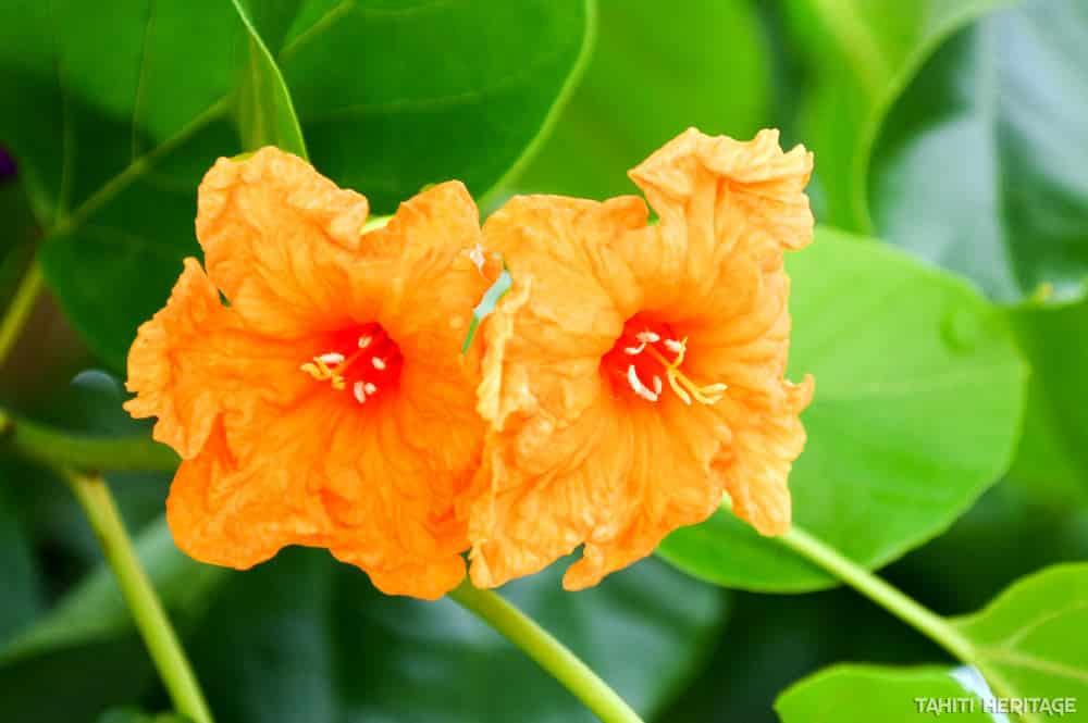 Fleurs de Tou, Cordia subcordata © Tahiti Heritage