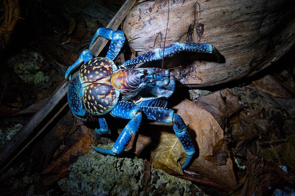 Le crabe protecteur. Photo Danee Hazama