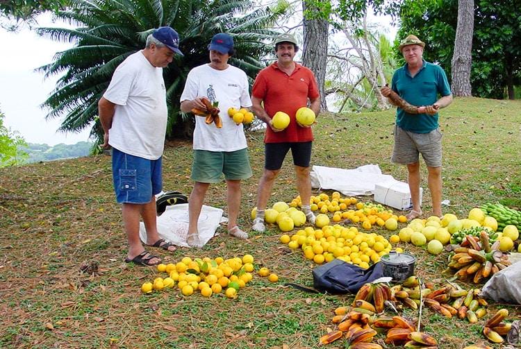 Récolte d'oranges à Mahina
