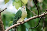 Ptilope de Makatea, O'o - Pigeon vert