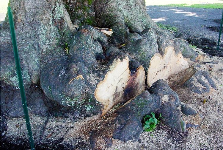 Racines du vieux manguier du temple de Mataiea en 2002