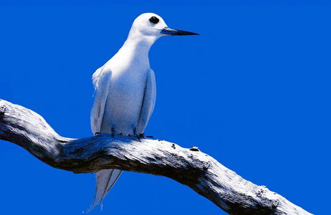 Pirae, Pira'e oiseau protecteur. Photo MANU