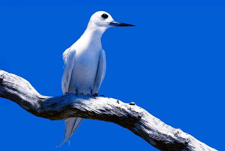 Gygis blanche, Pirae