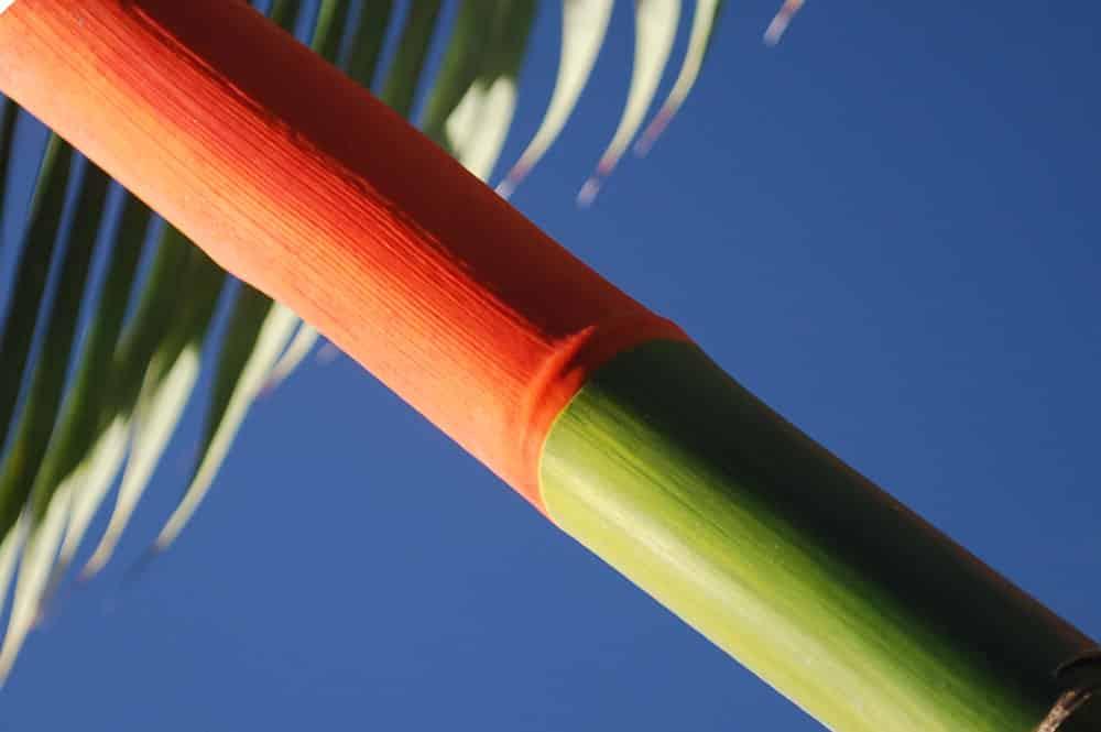 Cyrtostachys renda, dit palmier rouge