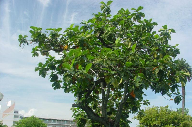 uru huero l 39 arbre pain graines de mamao tahiti heritage. Black Bedroom Furniture Sets. Home Design Ideas
