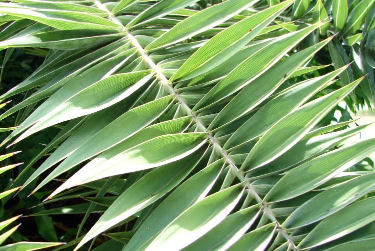 Feuilles de Phoénix, palmier jardin botanique de Tahiti
