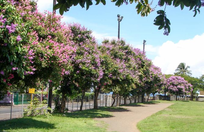 Lilas des Indes du stade Willy Bambridge de Papeete