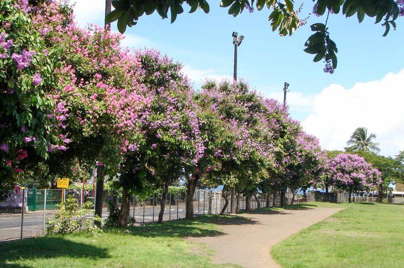 Lilas des Indes du stade Willy Bambridge de Papeete
