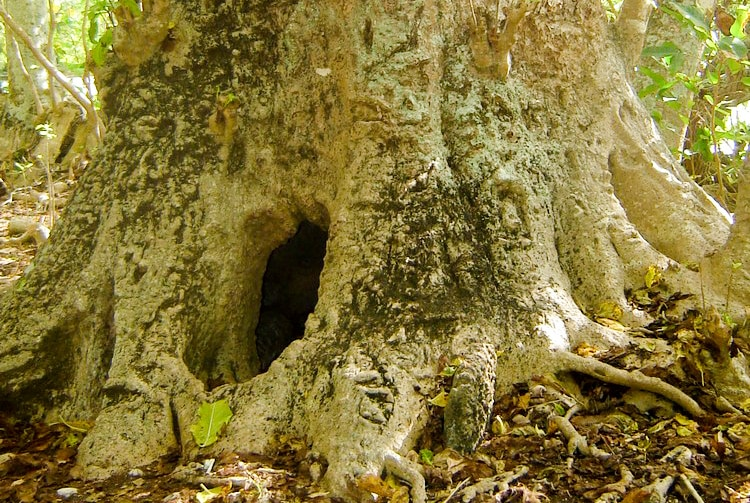 Arbre-grotte de Tubuai