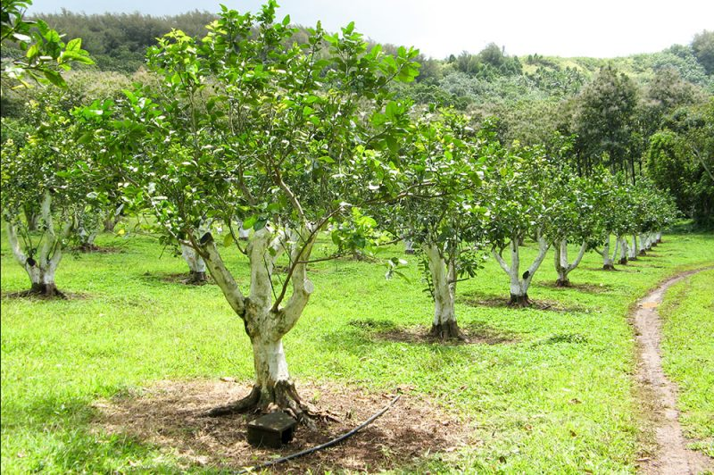 Arboretum de Ua Huka