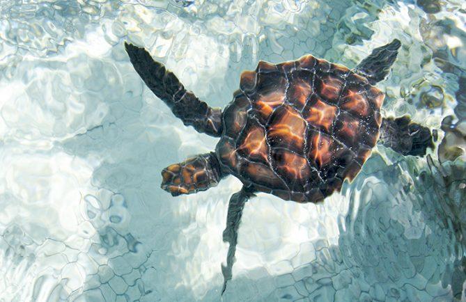 Jeune tortue de Kauehi