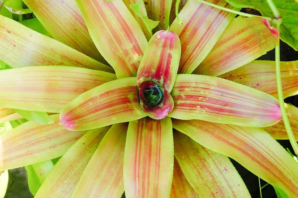 Bromelia Neoregelia © Tahiti Heritage