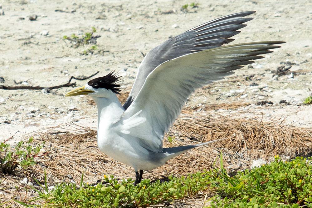 Sterne huppée ( Sterna bergii) du motu aux oiseaux de Mataiva