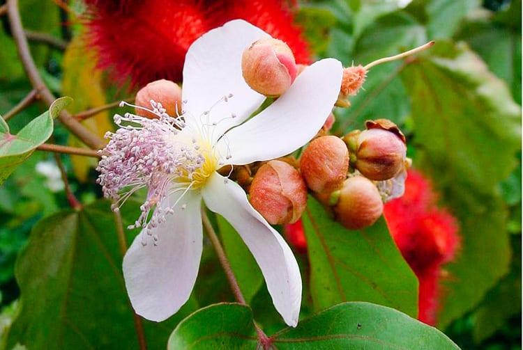 Fleurs de Rocouyer. © Tahiti Heritage