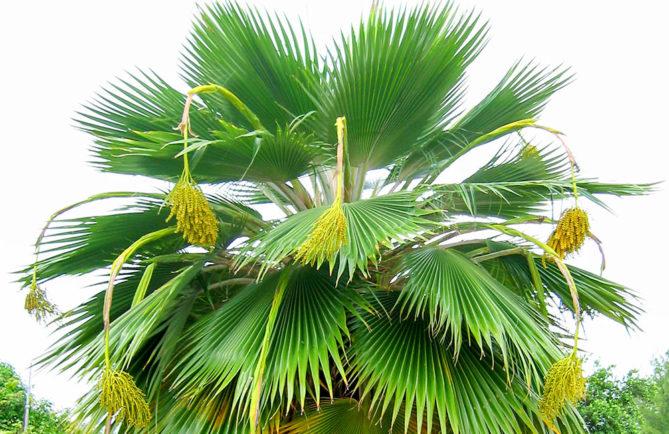 Palmier de Niau - Pritchardia pericularum