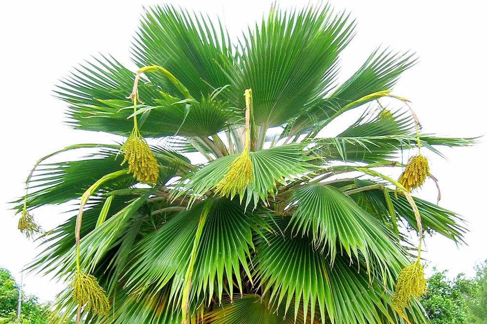 Pritchardia periculum le palmier end mique de niau - Image palmier ...