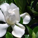 Tiare Taina, Gardenia de Tahiti, la rose polynésienne
