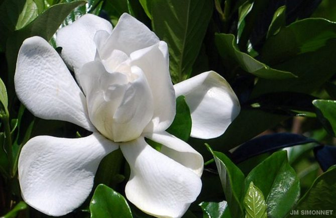 Gardenia jasminoides de Tahiti, Tiare Taina . Photo JP Simonnet