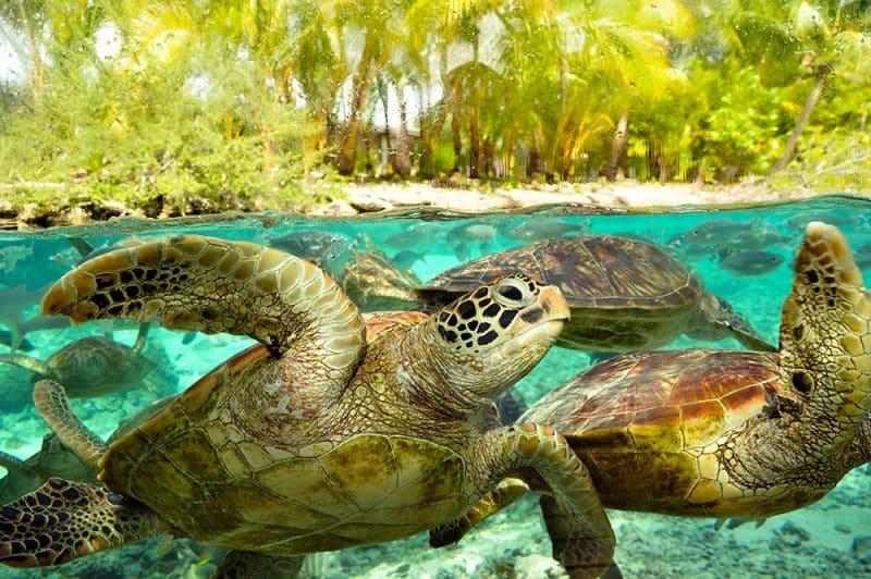 Centre de protection des tortues marines de Bora Bora. Photo Elsa Fernicle