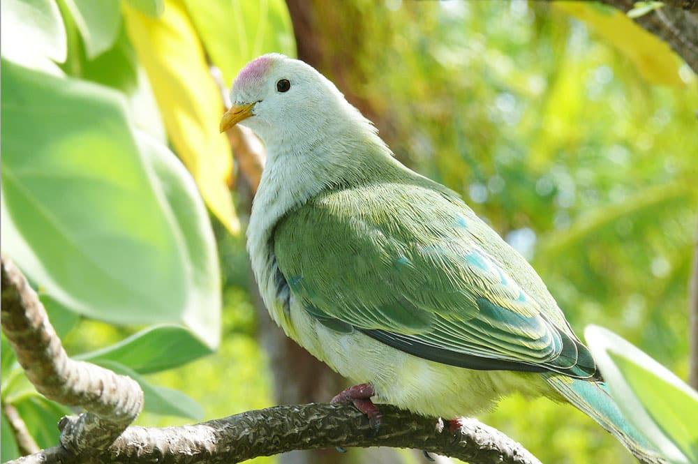 Ptilope, O'o - Pigeon vert. Photo Claude Serra