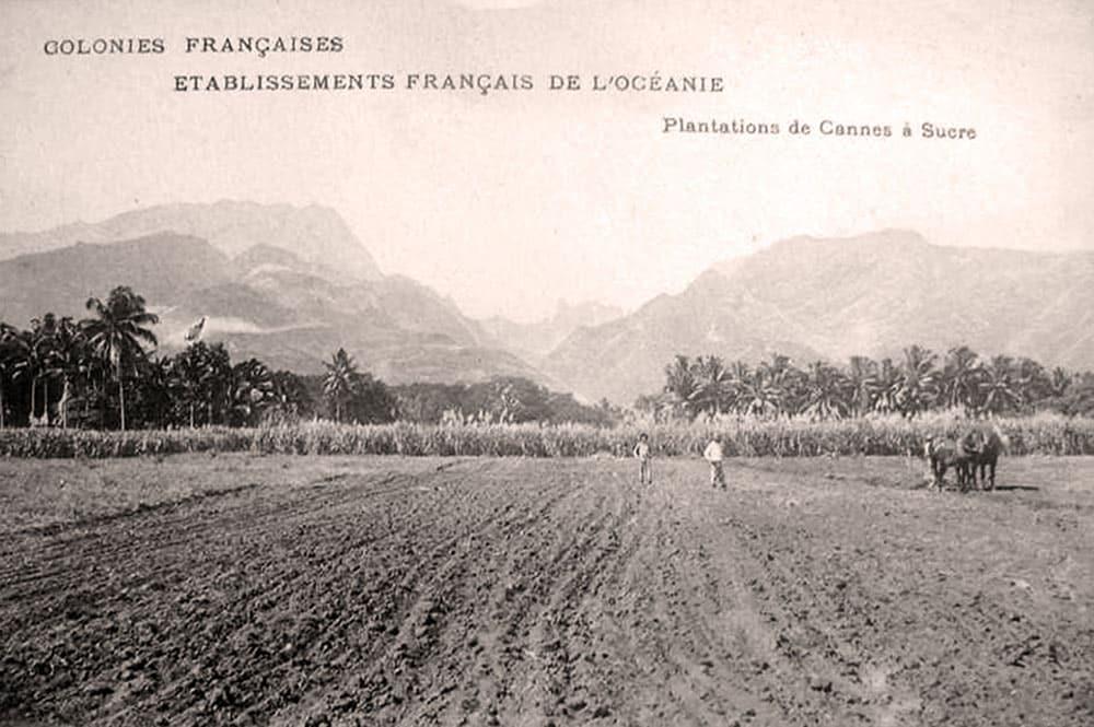 Canne à sucre à Pirae en 1882