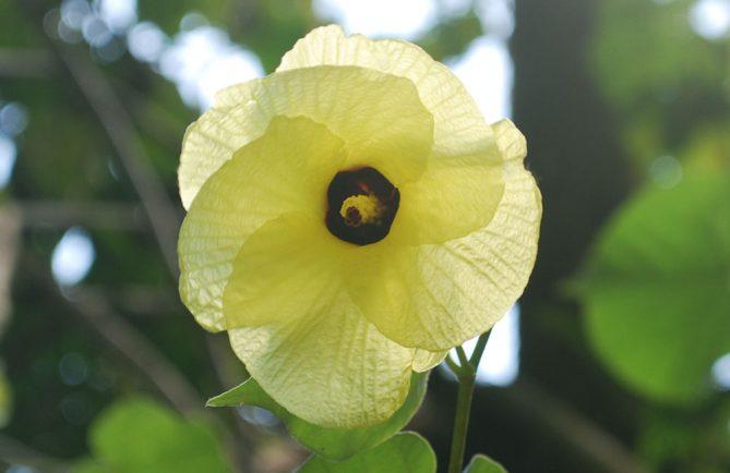 Fleur jaune d'hibiscus taliaceus, Purau de Tahiti