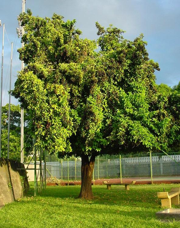 BIgnay, l'arbre qui pue du tennis de Pirae