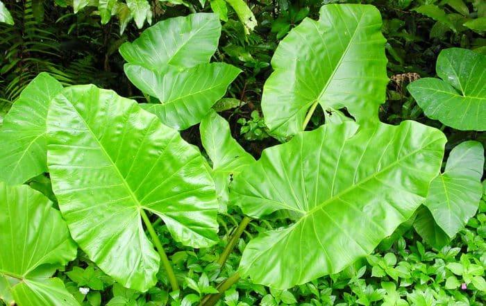 Feuilles de Taro - Colocasia esculenta