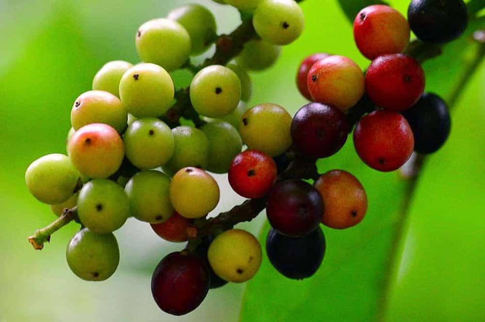Fruits de l'arbre qui pue, Bignay (Antidesma Bunius)