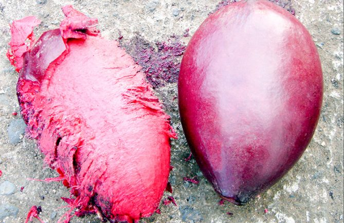 Coque d'Auteraa géant, Badamier, qui renferme l'amande comestible