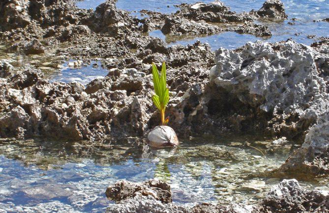 Premier cocotier des Tuamotu, à Anaa