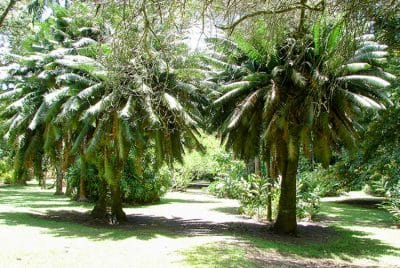 Cycas du jardin botanique de Tahiti © Tahiti Heritage