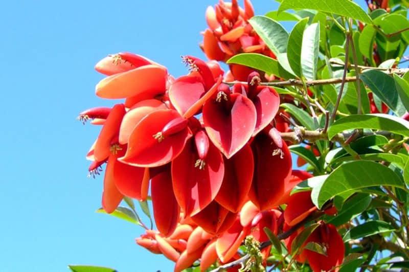 Erythrina tahitensis- Atae oviri