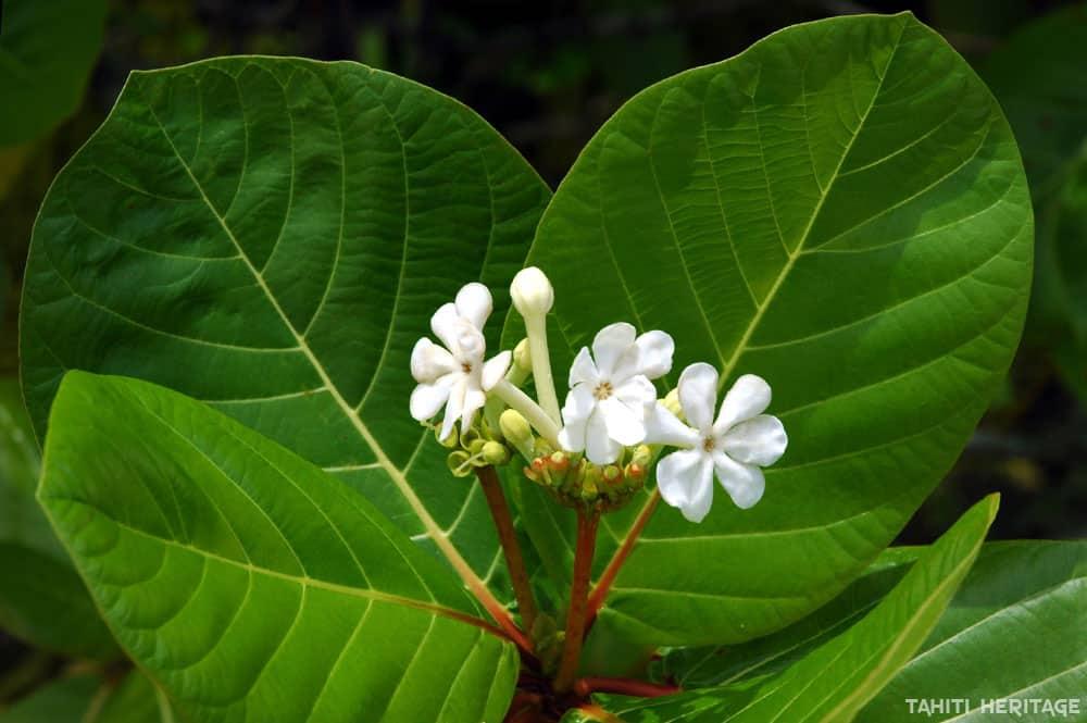 Fleurs de Kahaia, Guettarda speciosa © Tahiti Heritage
