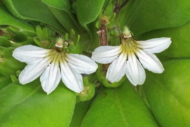 Gapata, Nnaupata (Scaevola sericea)
