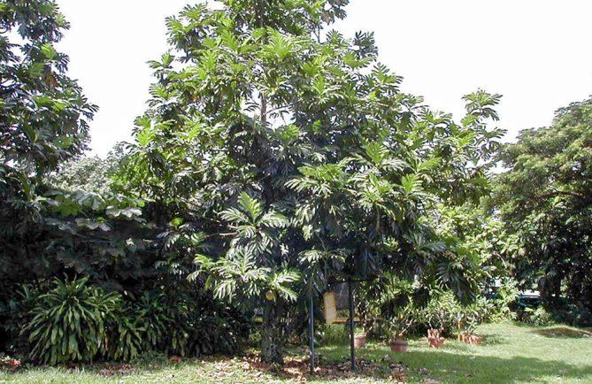 Le Uru, descendant de ceux de La Bounty, planté sur la colline du Tahara'a