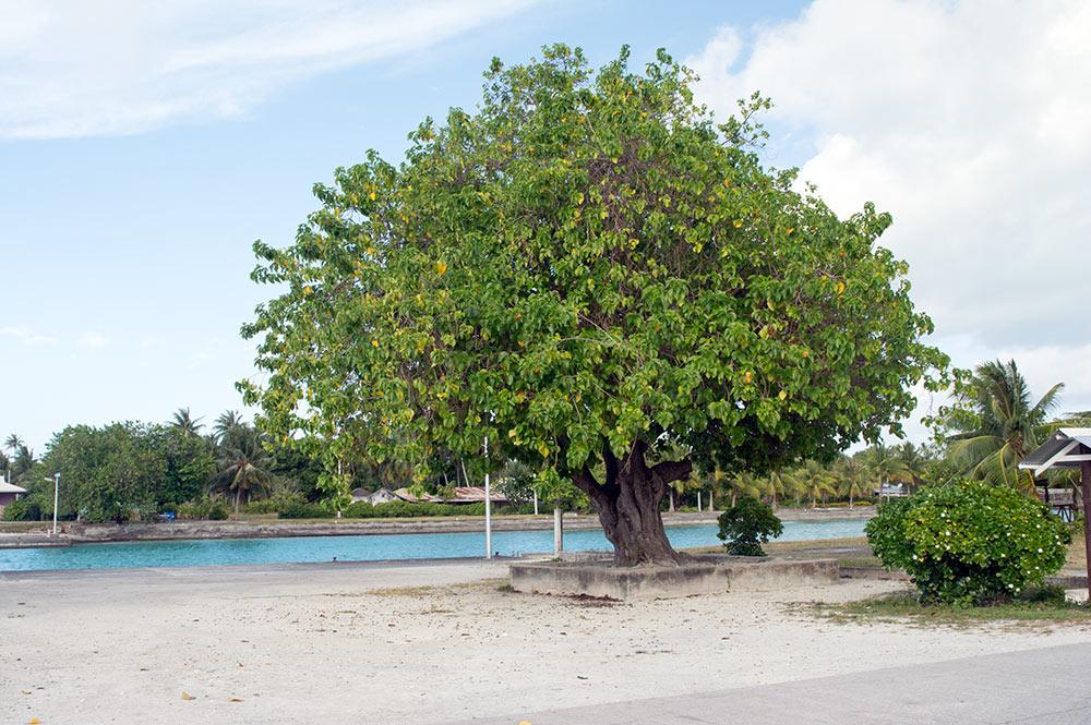 Vieil arbre (tou, Cordia) de Pahua à Mataiva. © Tahiti Heritage