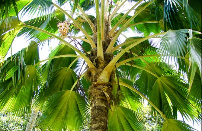 Pritchardia vuylskeana, le palmier endémique de Makatea © Tahiti Heritage