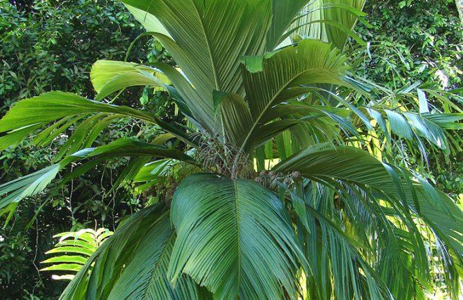 Palmier des Marquises, Enu, Pelagodoxa henryana