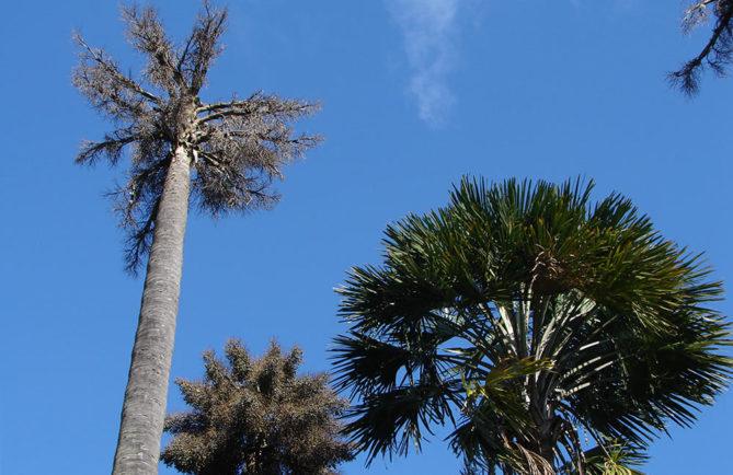 Palmier Talipot de Tahiti, Corypha Elata.