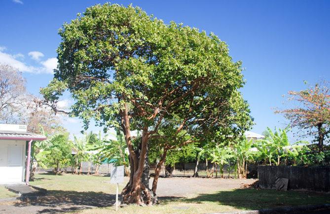 Le ora tahiti qui ne voulait pas mourir - Pirae