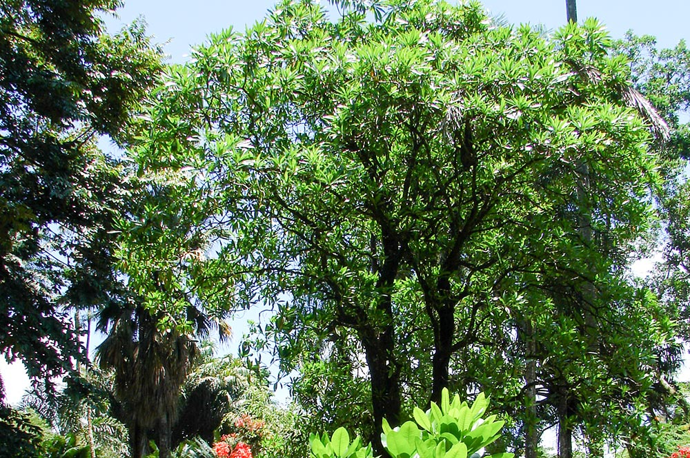 Hotureva, Reva, du jardin botanique de Tahiti © Tahiti Heritage