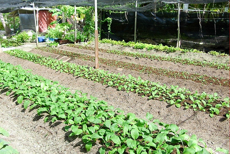 Plantation de l'îe d'eden à Tikehau
